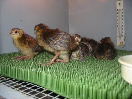 Nursery box for tragopans