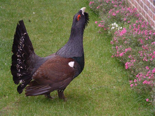 03westerncapercaillie