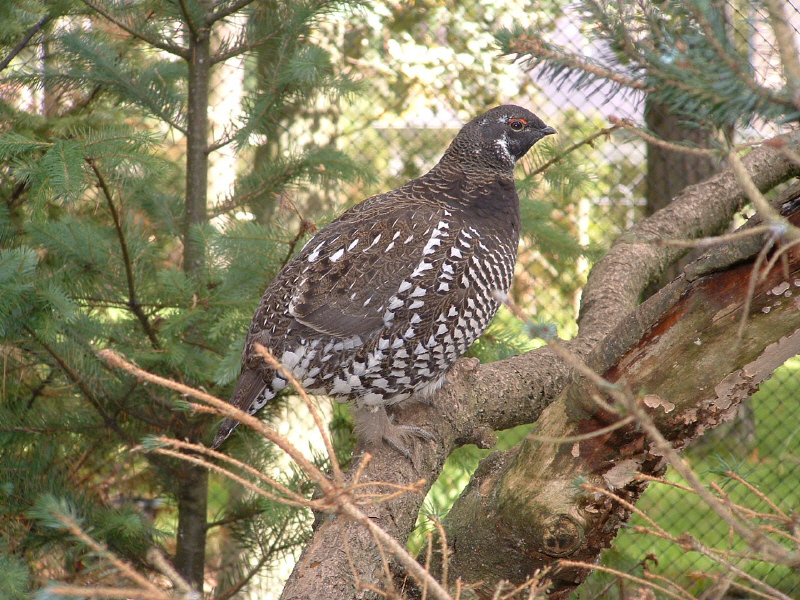 13siberiangrouse