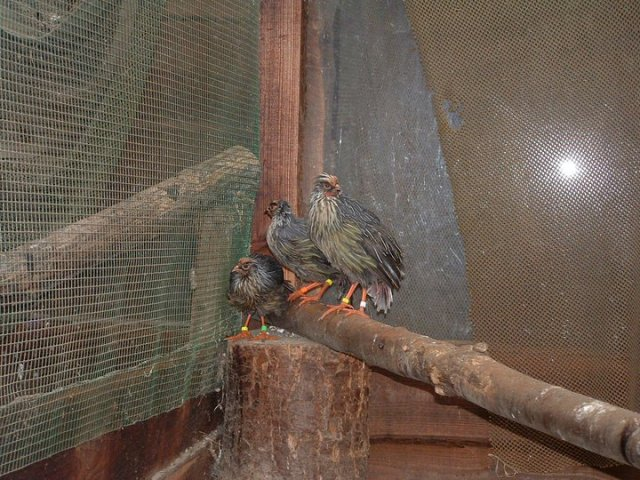 breeding_bloadpheasants_16