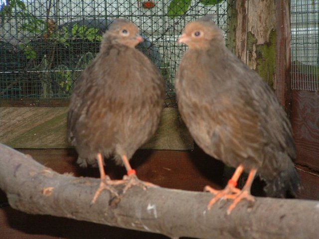 breeding_bloadpheasants_17