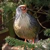 breeding_bloadpheasants_08