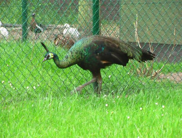 Green_peafowl_06