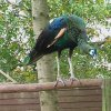 Green_peafowl_02
