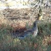 Black_Grouse_06