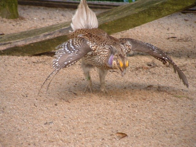 Sharp-tailed_Grouse_01